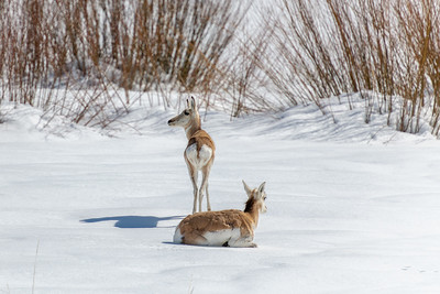 Pronghorn, Wood River Valley, Idaho