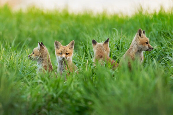 Four red fox kits on the lookout by their den (Iowa)