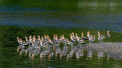 American Avocets in Sun Valley, Idaho