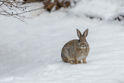 Snowshoe Hare, Sun Valley, Idaho