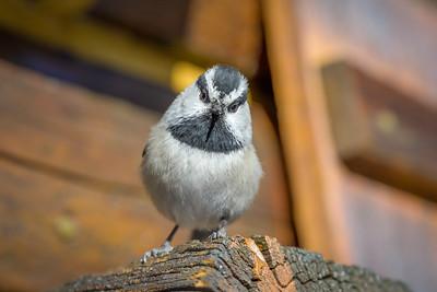 Mountain Chickadee #1