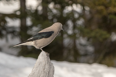 Clark's Nutcracker in Winter