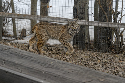 Bobcat in Sun Valley, Idaho