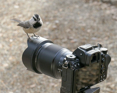 Mountain Chickadee and Nikon Z7