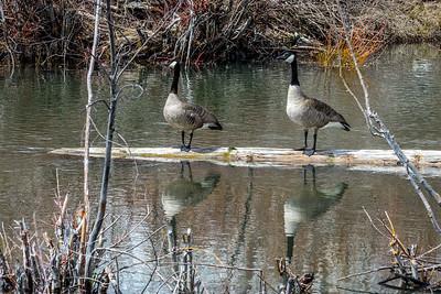 Canada Geese in Sun Valley, Idaho