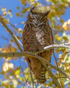 Great Horned Owl, Bubo virginianus, in Sun Valley, Idaho
