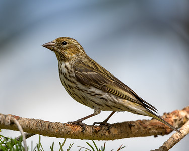 Cassin's Finch Female #2
