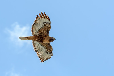 Red Tailed Hawk Flies Over Sun Valley, Idaho