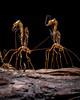 Giant Ichneumon Wasps