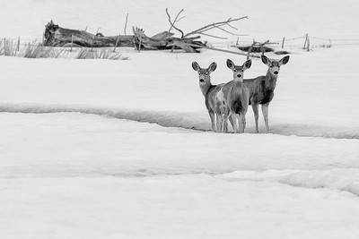 Three Deer in Winter
