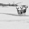 Three Deer in Winter
