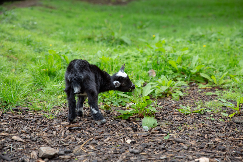 Pygmy Goat Eating