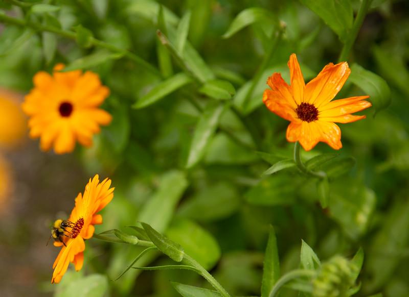 Bumble Bee on Orange Flower 3