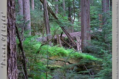 A nursery tree fallen in the foreground raises a new batch of baby evergreen trees in the Old Growth in Mount Rainier National Forest.  For scale, the fallen tree in back is about five or six feet in diameter, and the baby trees were about 2.5 to 3 feet tall.