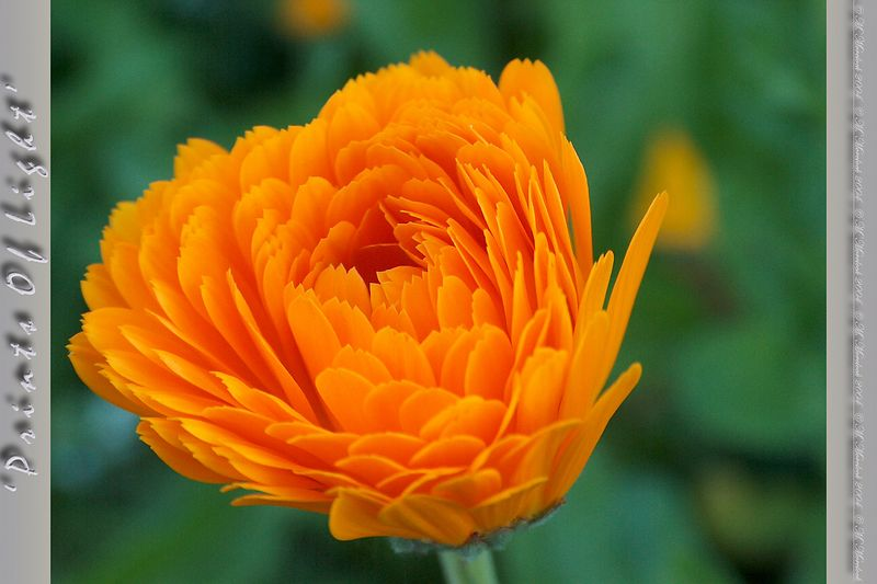 """Here's a Calendula in more full bloom.  In the garden these flowers really don't stand out... but I love the """"sawtooth"""" tips to the petals!"""
