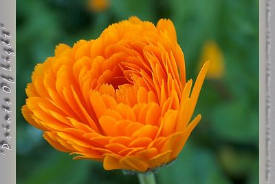 "Here's a Calendula in more full bloom.  In the garden these flowers really don't stand out... but I love the ""sawtooth"" tips to the petals!"