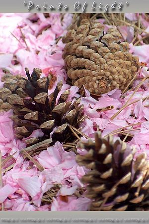 Spring pine cones nestled in Cherry Blossom petals.  This is the look they are trying to get when they have little girls spreading flower petals on the floor at weddings...