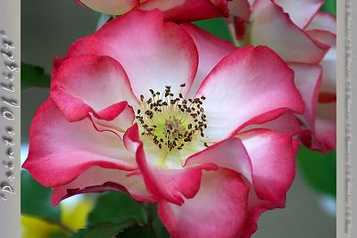 "This Rose is called ""Betty Boop"", and won the Rose Competition at the Western Washington State Fair in 2003... I'd love to have a whole bush of these!"