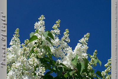 "I have this set of Lilac bushes in the back yard; the blooms are immense..  Each little flower is about  a half inch across, but the 'pompom'  is about a foot long, or more!  Looking at them against a deep blue sky.... sigh.  I should make this one available in a 6"" square; it wolud make a stunning tile..."