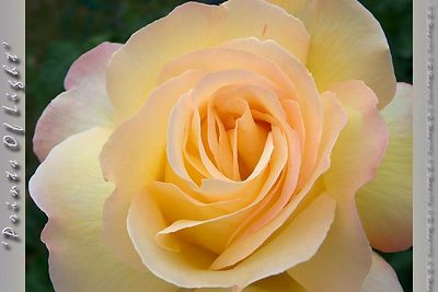 Another Golden Peace Rose.  Is it just me, or was he watching me as closely as I was looking at him?   Huh...  nosey rose.