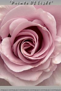This type of Rose seems like it doesn't unfold as much as it unscrews when it blooms!