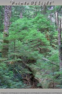 Mount Rainier National Forest, on the trail up to Ranger Falls and Greenlake.  This place is a Temperate Rain Forest, and it is the kind of Old Growth Forest that is talked about so much.