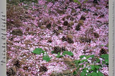 Pink Cherry blossoms carpet the ground littered with Pine Cones... it was just such an odd sight that I HAD to get a couple of shots of it... or, well, a dozen shots or so...