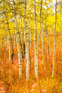 Shadow Mountain Aspens