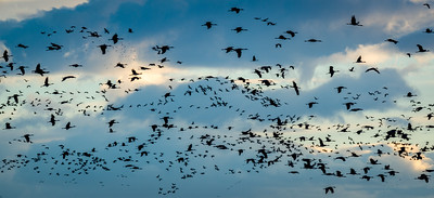 Evening flight at Bosque del Apache
