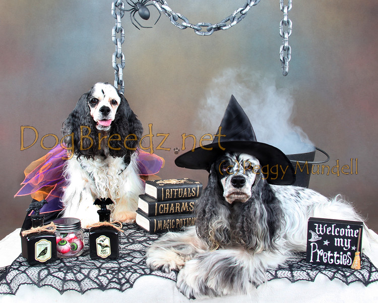 Indie & Bennett Mundell, Cocker Spaniels, on the 2016 Halloween Studio Set.
