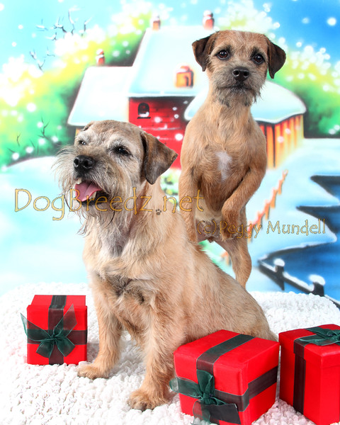 Salsa (CH Ott To Be Hot Salsa, CGC) and Liza (Bravo's It Started With A Whisper), Border Terriers owned by Jeri Harrison, on the Christmas Holiday studio photo set with DogBreedz.net pet photography in El Cajon, CA on October 7, 2016.