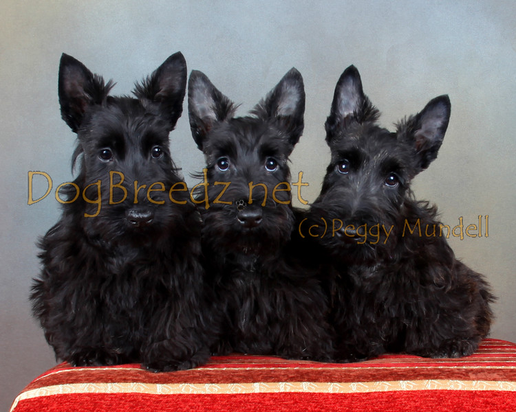Scottish Terrier Puppies/Leia's Litter born 6/6/2016.  Owned by Sueannette Maniscalco. Patti (black), Brenda (Brindle) and Basil (Rathbone Su-Et's Dream on Baker Street).