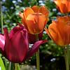 Ananda Tulips1