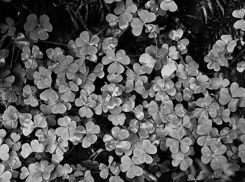 Muir Woods Wildflowers