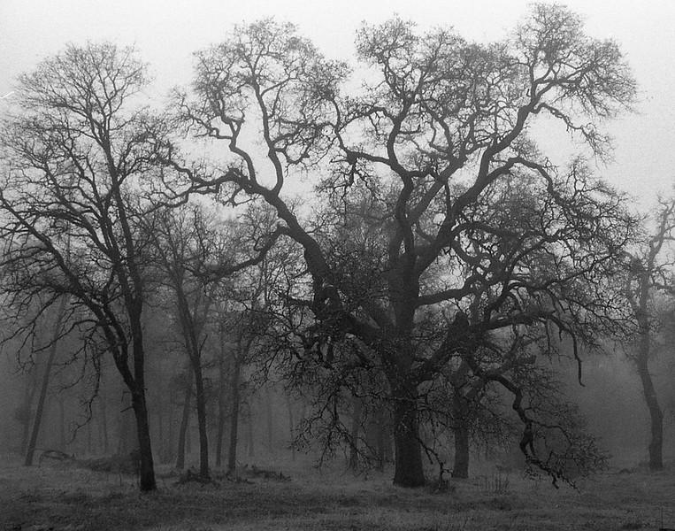 Oaks in Winter Fog