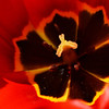 Open Red Tulip