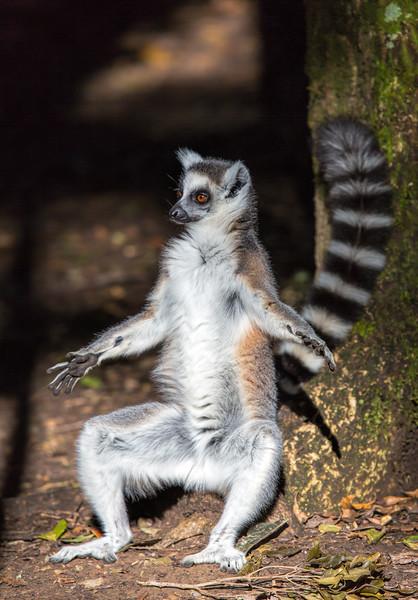 Lemur sun bathing