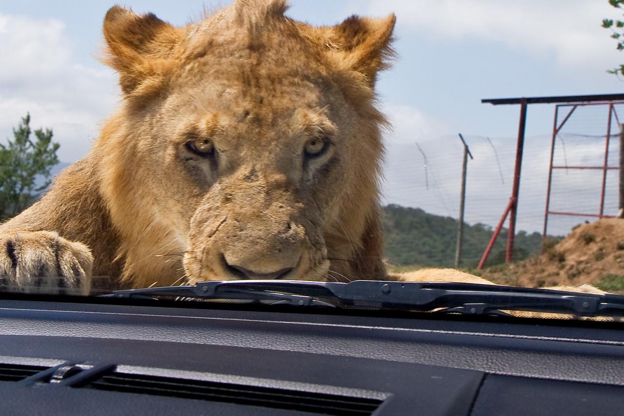 Lion on car