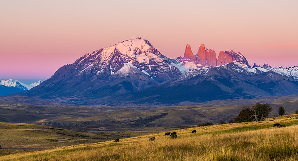 Cattle Graze in Early Light - Torres del Paine