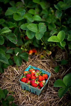 Hand-picked, organic strawberries are sold in quart-size boxes at Oley Valley Organics Farm. Barb Dietrich, owner of the farm said she sells out to the local community and has no need to form a relationship with grocery store chains.