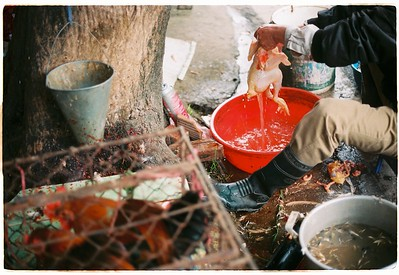 A man cleans out a fresh chicken in bạch đằng market in Hanoi, Vietnam.
