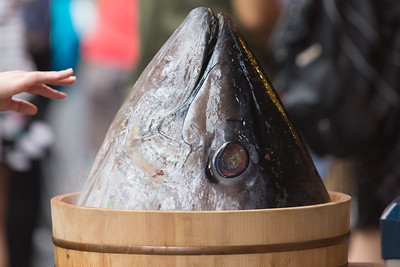 Tuna fish are caught in the Pacific Ocean and sold to fish markets worldwide at Tsukiji Fish Market in Tokyo, Japan. Tourists flock to the market around 3:00 a.m. to see the tuna be auctioned off at the largest fish market in the world.