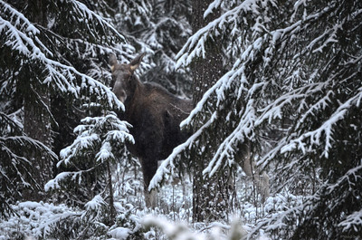 A Moose Cow Peers Through the Woods