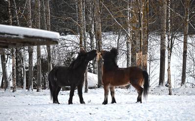 Icelandic Horses Frolic at Purola Farm