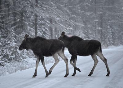 Twin Moose Calves Make a Dash For It