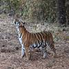 Bengal Tiger (female) ..... Endangered