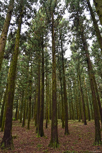 Japanese Cedars in Jeolmul Recreational Forest