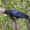 Jungle Crow in Jeolmul Recreational Forest