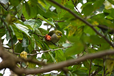Japanese White-eye in Jeolmul Recreational Forest