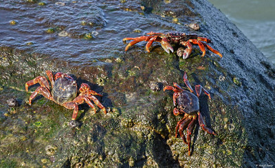 Rock Crabs Basking in the Sun in Muttrah Harbor